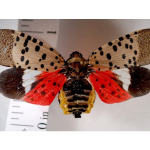 The Spotted Lanternfly has Officially Arrived in the U.S.