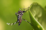 Aedes aegypti Mosquito, a common vector of dengue fever and yellow fever